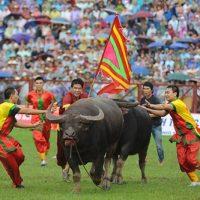 Lễ Hội Chọi Trâu ở Xã Phù Ninh – Huyện Phù Ninh