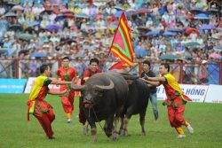 DO SON, VIETNAM - SEPTEMBER 21:  Two Buffalos Fight During Buffalo Fighting Festival At Do Son Stadium On September 21, 2015 In Do Son, Vietnam. Vietnamese Devotees Have Held The Buffalo Fighting Festival Annually Since The 18th Century To Honour The God Of Water And To Pray For Safety, Prosperity, And Good Harvest. The Festival, Which Attracts Both Local People And International Tourists, Also Expresses The Martial Spirit Of People In The Village Of Do Son. Thirty-two Buffalos Fight In Final Round Today For Prize 70 Millions Vietnam Dong.  (Photo By Robertus Pudyanto/Getty Images)