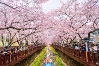 Chuong Trinh Mua Hoa Anh Dao Seoul Everland Yeouido Nami