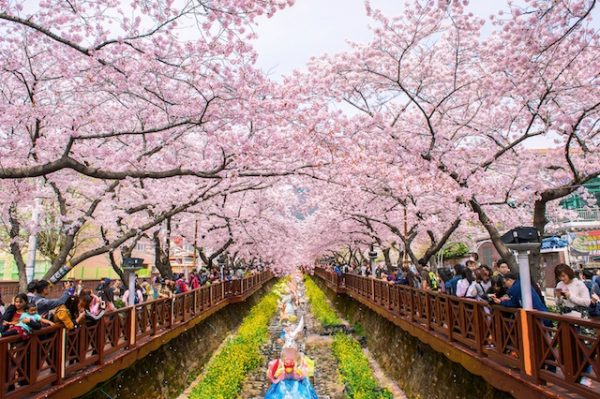 chuong-trinh-mua-hoa-anh-dao-seoul-everland-yeouido-nami